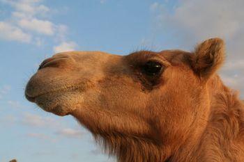 abu-dhabi-camel-farm.jpg