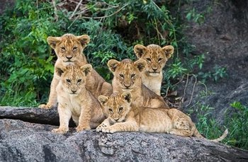 five lions.jpg